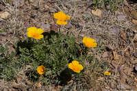 Eschscholzia californica subsp. mexicana image