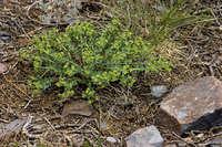 Image of Euphorbia palmeri