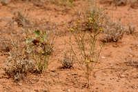 Image of Gutierrezia sphaerocephala
