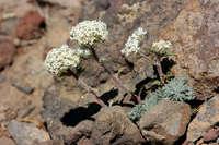 Ipomopsis congesta subsp. montana image