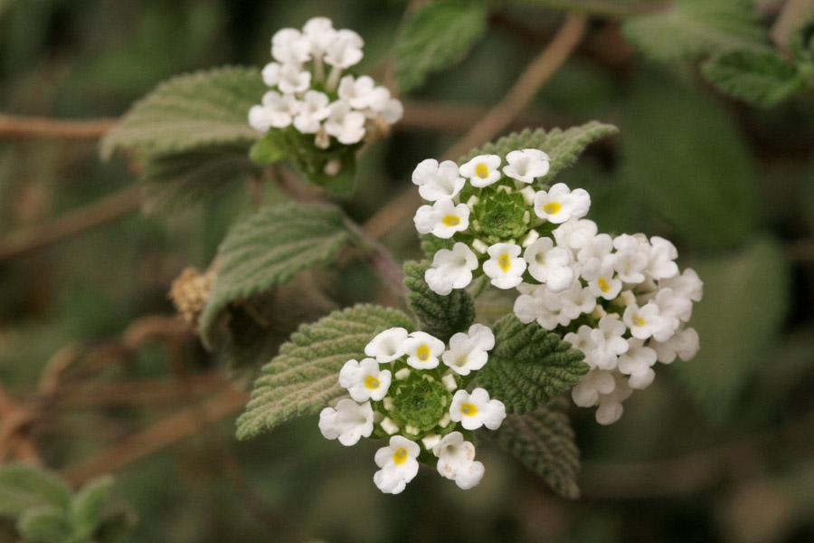Verbenaceae image