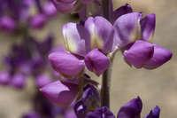 Lupinus magnificus image