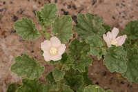 Image of Malvella leprosa