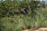 Image of Muhlenbergia dubia