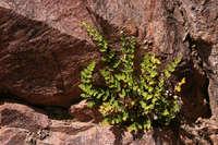 Notholaena lemmonii image