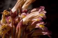 Image of Orobanche fasciculata