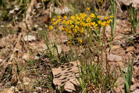 Image of Packera streptanthifolia