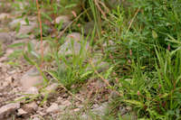 Persicaria maculosa image