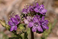 Image of Phacelia popei