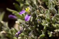 Image of Polygala macradenia