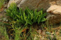 Image of Polystichum lemmonii
