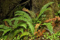 Image of Polystichum munitum