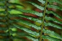 Polystichum munitum image