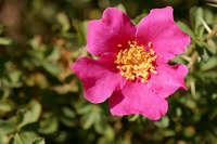 Image of Rosa stellata