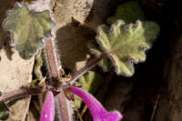 Salvia summa image