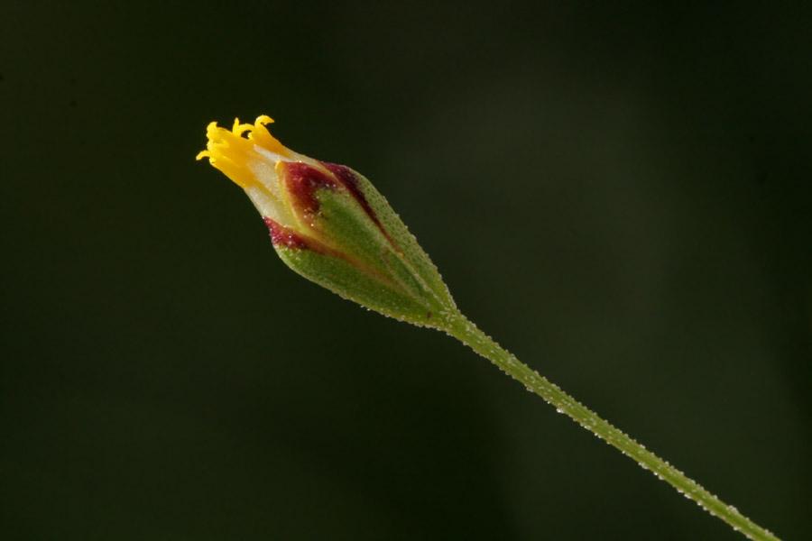 Schkuhria pinnata image