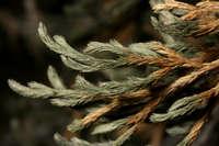 Image of Selaginella x neomexicana