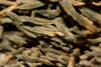Image of Selaginella peruviana
