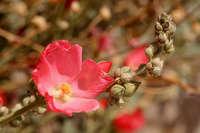 Image of Sphaeralcea laxa