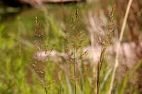 Image of Sporobolus pulvinatus