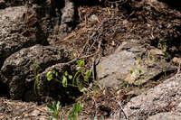 Image of Streptanthus tortuosus