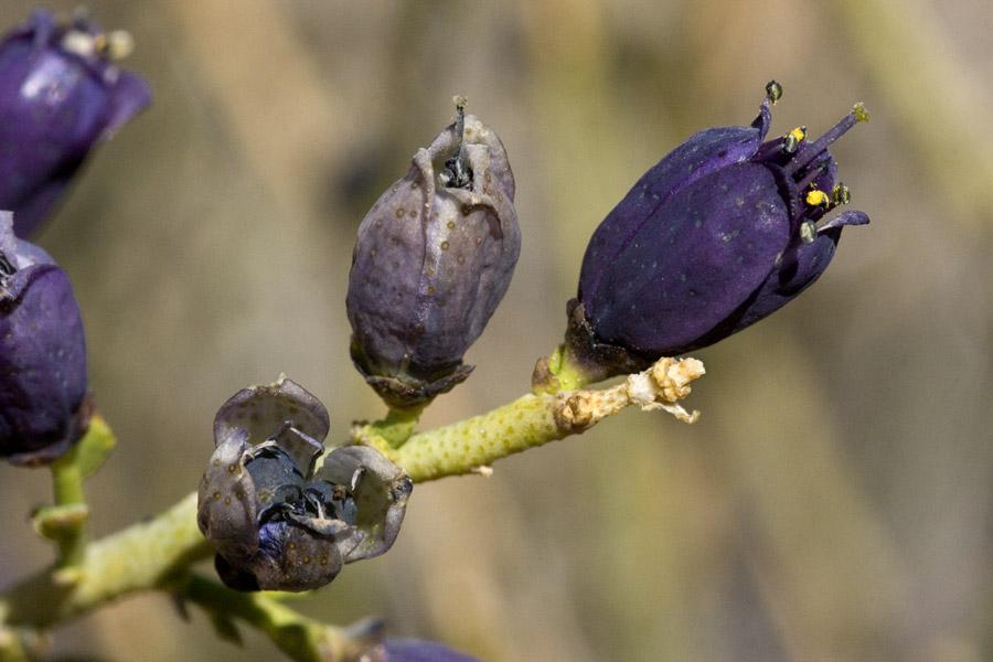 Rutaceae image