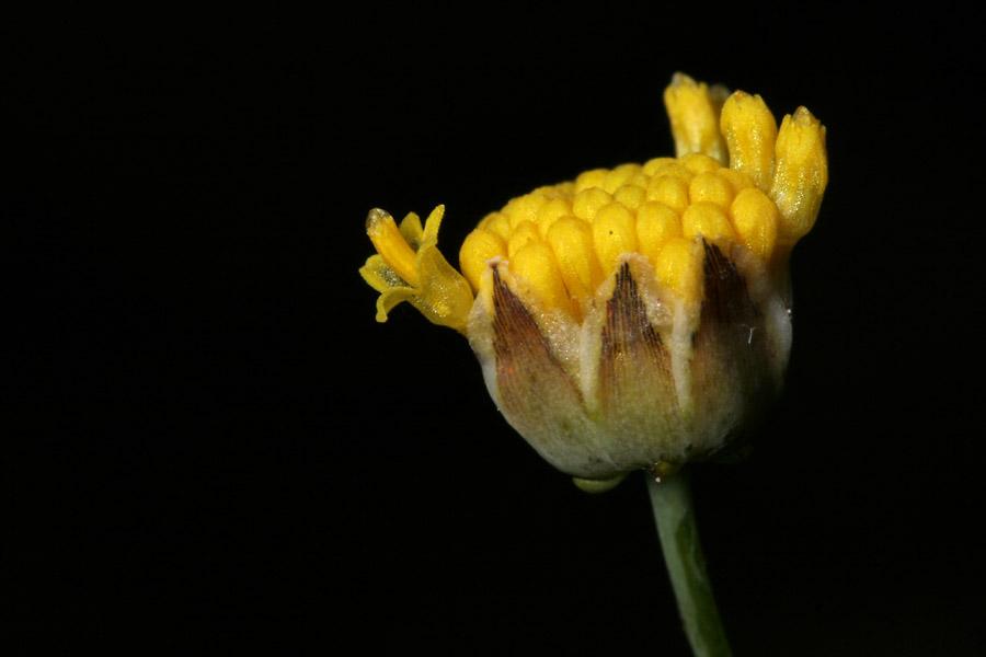 Thelesperma longipes image