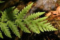 Image of Woodwardia fimbriata