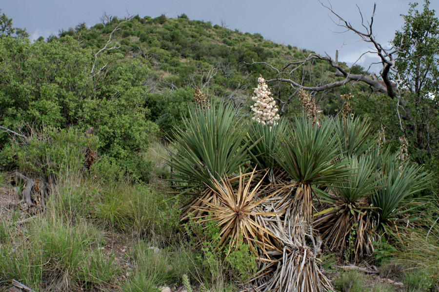 Yucca schottii image