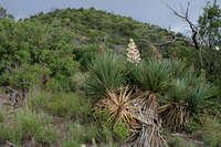 Image of Yucca schottii