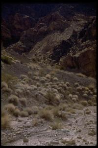 Amphipappus fremontii image