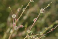 Image of Cycloloma atriplicifolium
