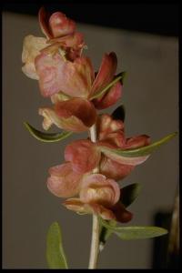 Image of Grayia spinosa