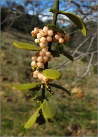 Image of Phoradendron serotinum