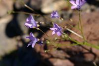 Image of Gilia scopulorum