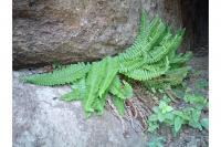 Image of Polystichum scopulinum