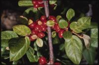Image of Shepherdia canadensis