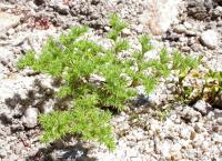 Image of Loeflingia squarrosa