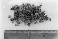 Image of Drymaria pachyphylla