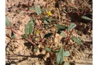 Image of Camissonia exilis