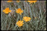 Image of Adenophyllum cooperi