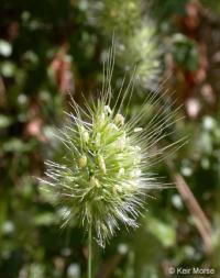 Image of Cynosurus echinatus