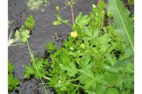 Image of Ranunculus macounii