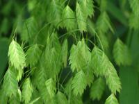 Image of Chasmanthium latifolium