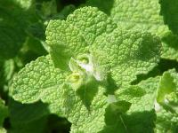 Image of Mentha × rotundifolia
