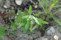 Image of Chenopodium ficifolium