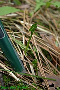 Image of Botrychium crenulatum