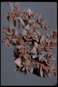Image of Chamaesyce chaetocalyx