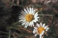 Image of Erigeron eatonii