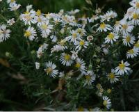 Image of Aster falcatus